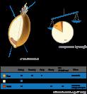 Wheat kernel nutrition